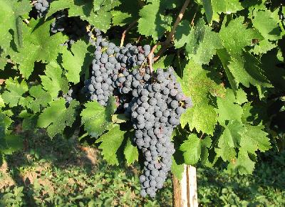 Vitis vinifera (Grapes)