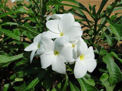 Plumeria pudica (Plumeria)