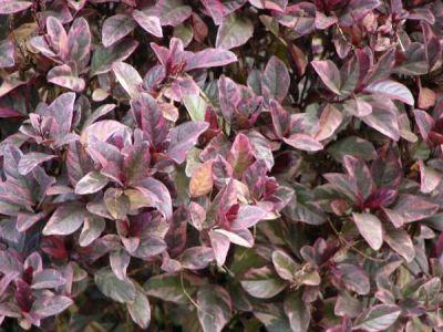 Pseuderanthemum atropurpureum (Purple False Eranthemum)