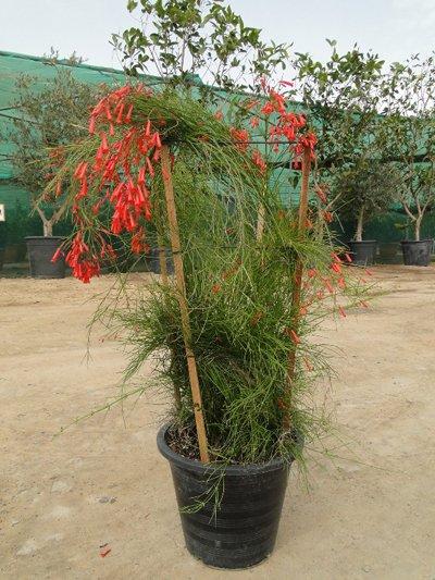 Russelia equisetiformis (Coral Plant, Firecracker Plant)