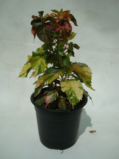 Acalypha wilkesiana (Copper Leaf, Jacobs Coat, Fire-Dragon)