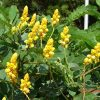 Cassia alata (Candle Bush, Empress Candle Plant, Candletree, Candelabra Bush, Ringworm Tree)