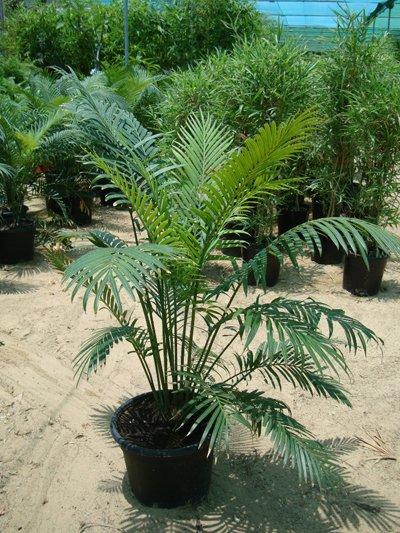 Cycas circinalis (Crozier Cycas, Fern Cycas, Fern Palm, Palm-leaved Cycas, Queen Sago, Sago Palm)