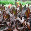 Canna indica Purpurea (Canna Lily, Indian Shot)