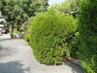 Dodonaea viscosa Green, Purple Hop-Bush