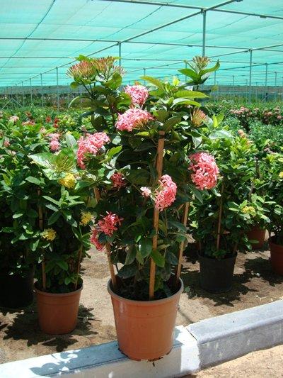 Ixora coccinea Pink (Flame of the Woods, Jungle Flame, Jungle Geranium)