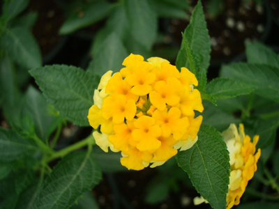 Lantana camara Yellow (Lantana)