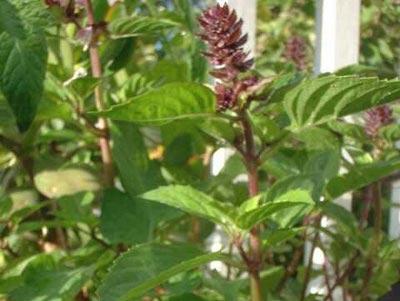Ocimum basilicum (Basil, Sweet Basil)