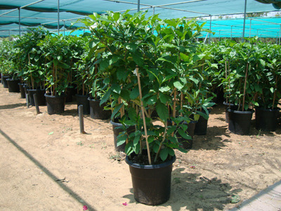 Tabernaemontana coronaria (Crepe Jasmine, East Indian rosebay, Paper gardenia)