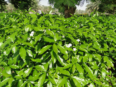 Tabernaemontana divaricata (Crepe Jasmine, East Indian rosebay, Paper gardenia)