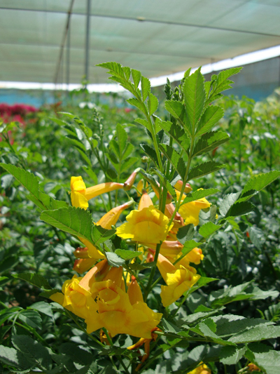 Tecoma smithii (Trumpet bush, Yellow bells)