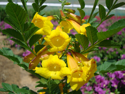 Tecoma smithii (Trumpet bush, Yellow bells)