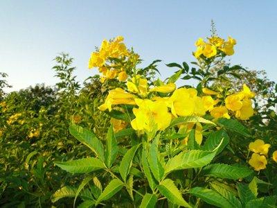 Tecoma stans (Trumpet bush, Yellow bells, Yellow elder)