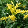 Tecomaria capensis Yellow (Cape Honeysuckle)