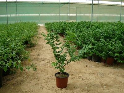 Wrightia religiosa (Wild Water Plum, Water Jasmine)