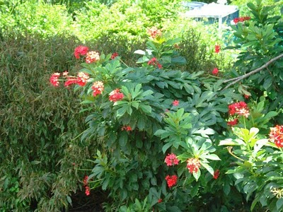 Jatropha integerrima (Peregrina, Spicy Jatropha)