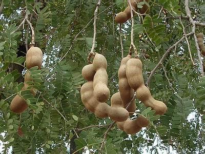 Tamarindus indica (Tamarind)
