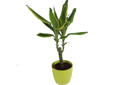 Dracena Golden Coast