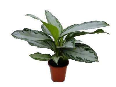 Aglonema Silver Bay, Chinese Evergreen, Silver Queen