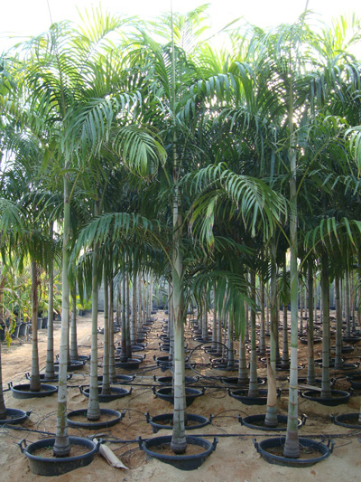 Carpentaria acuminata (Carpentaria Palm)