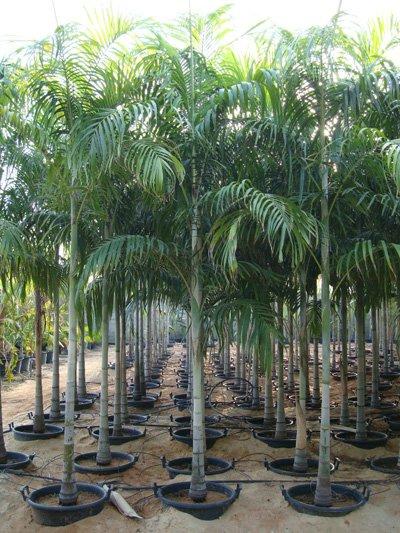 Carpentaria acuminata (Carpentaria Palm)