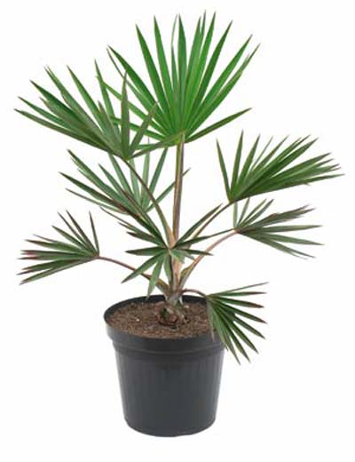Latania loddigesii (Blue Latan Palm)