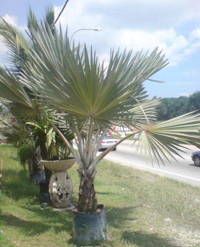 Latania verschaffeltii (Yellow Latan Palm)