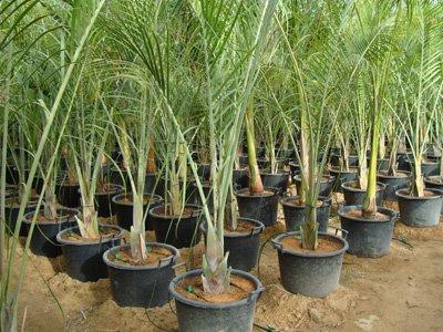 Neodypsis decaryi (Triangle Palm)