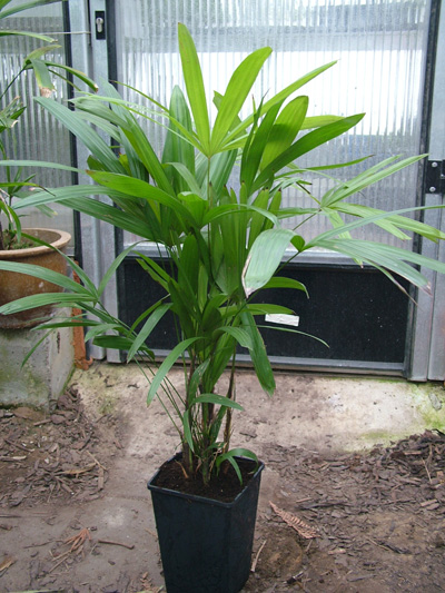 Rhapis humilis (Slender Lady Palm, Dwarf Lady Palm)