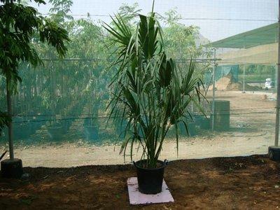 Sabal palmetto (Cabbage Palmetto Palm, Sabal Palm, Carolina Palmetto, Common Blue Palmetto)