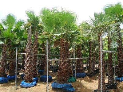 Washingtonia robusta (Mexican Fan Palm, Skyduster)