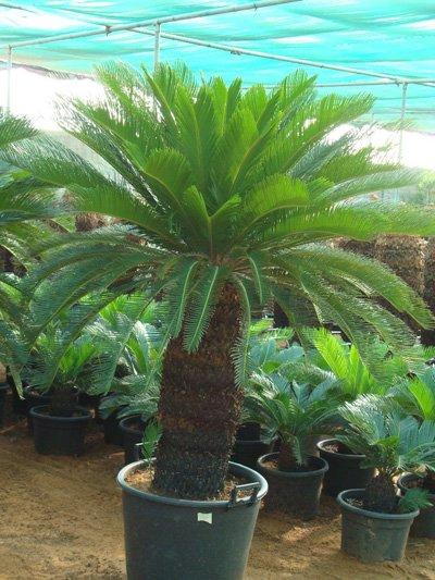 Cycas revoluta (Japanese Sago Palm, King Sago Palm, Sago Cycas, Sago Palm)
