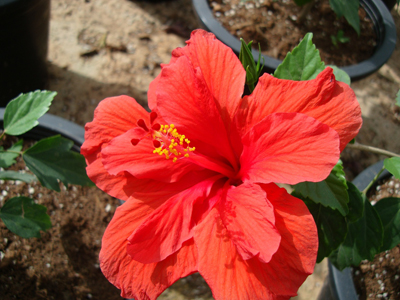 Hibiscus rosa-sinensis (Chinese Hibiscus, Rose-of-China, Hawaiian Hibiscus)