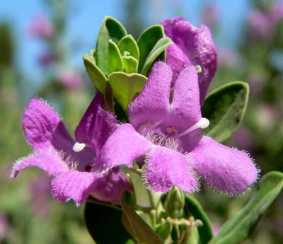 Leucophyllum frutescens Green Cloud (Texas Sage)