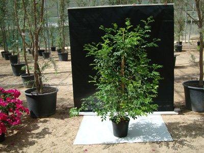 Murraya paniculata (Orange Jessamine, Orange Jasmine)