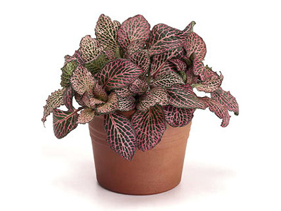 Indoor Plant Fittonia